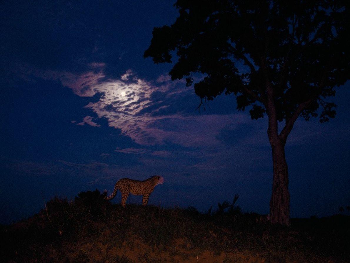 Un guépard se sert de la lumière d'une pleine lune pour promener son regard sur la ...