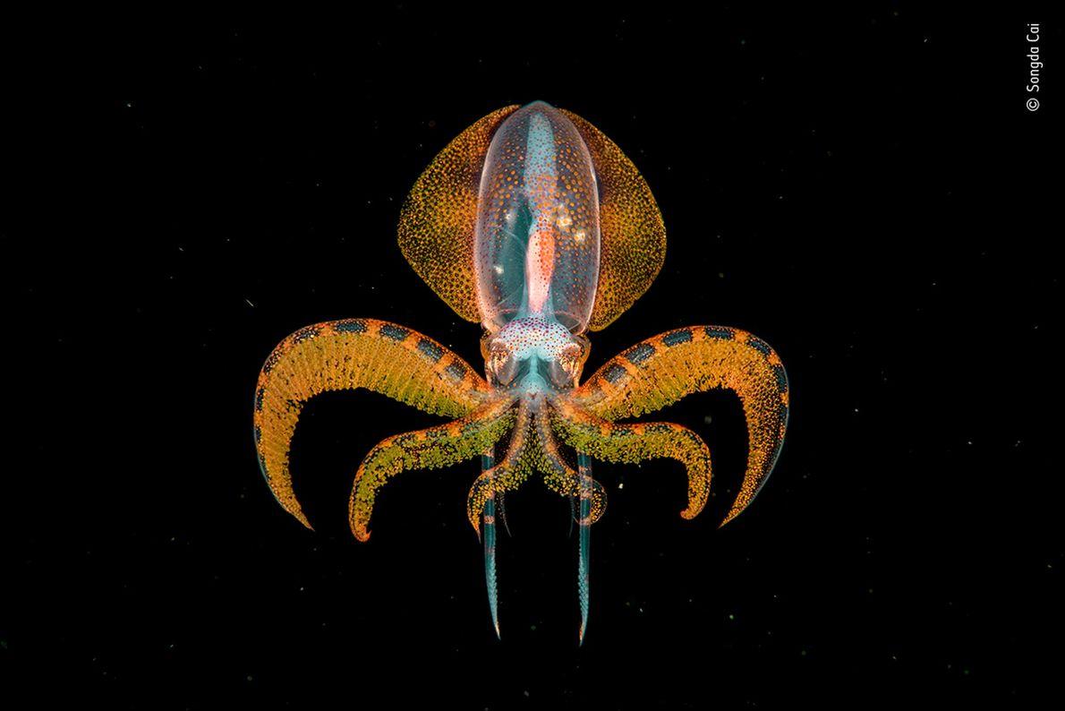 Cette photographie d'une minuscule paralarve de calamar diamant voletant dans les eaux profondes, réalisée lors d'une ...