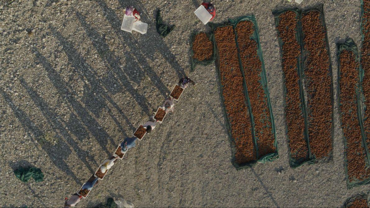 Turquie : pendant la récolte, les ouvriers peuvent transporter jusqu'à 3 tonnes d'abricots de Malatya par jour ...