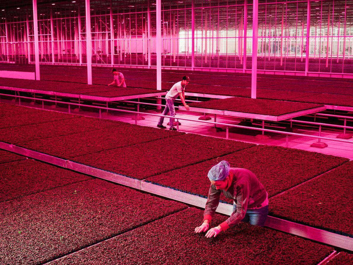 Des ouvriers de l'entreprise Koppert Cress contrôlent les tables de culture mobiles remplies du cresson à ...