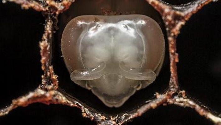 ABEILLES :  Grâce à la technique du time-lapse, suivez en accéléré l'évolution d'une abeille mellifère, ...