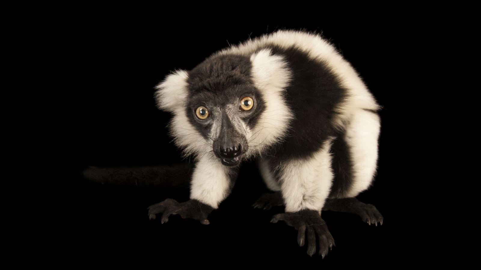 Un maki vari noir et blanc (Varecia variegata) en danger critique d'extinction au zoo Lincoln Children.