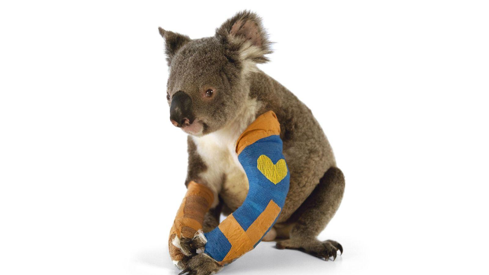 Harley, koala menacé, se remet de ses deux pattes cassées à l'Australian Zoo Wildlife Hospital dans ...