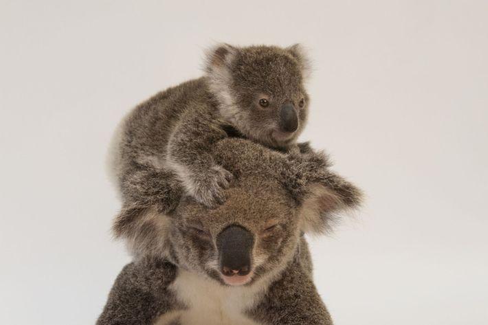Une maman koala nommée Augustine et son bébé.