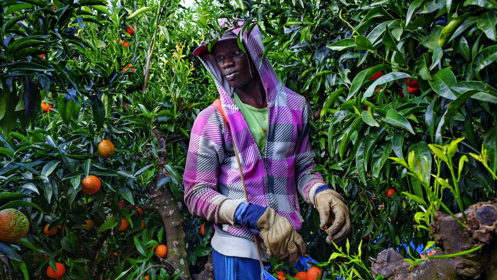 Mbaye Tune, 25 ans, est arrivé en 2016 du Sénégal dans la ceinture agricole du sud ...
