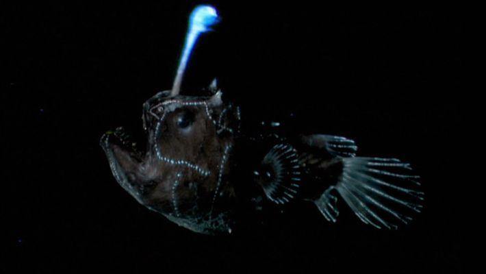 Une fois qu'il a trouvé l'amour, le poisson-pêcheur ne lâche plus sa prise