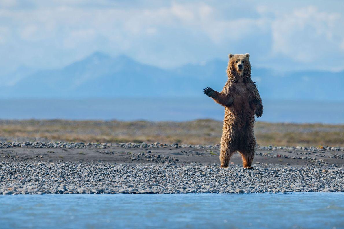 La réserve abrite les trois espèces d'ours nord-américains : ours noir, ours blanc et ours brun ...