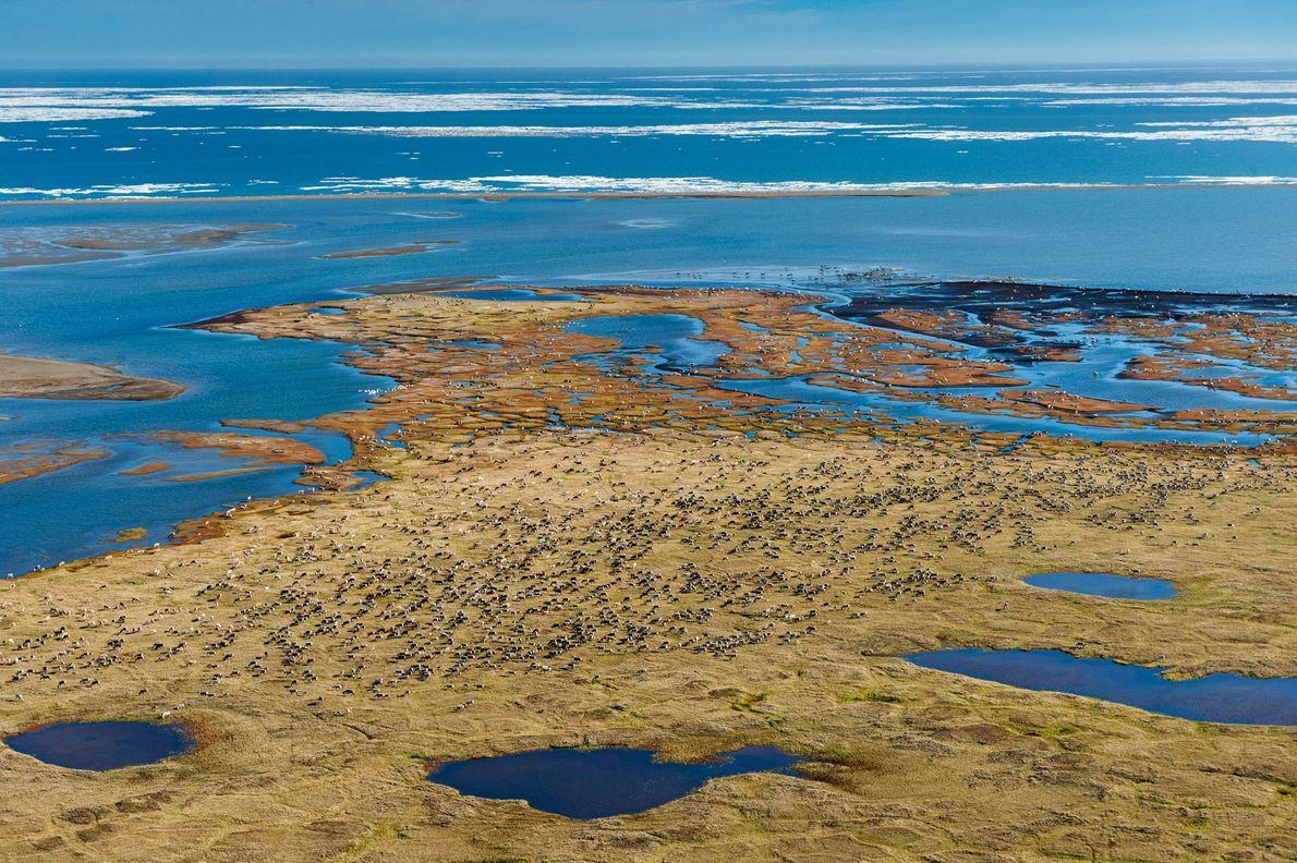 Au printemps, les rennes transhument vers la plaine côtière de la réserve — là, où se ...