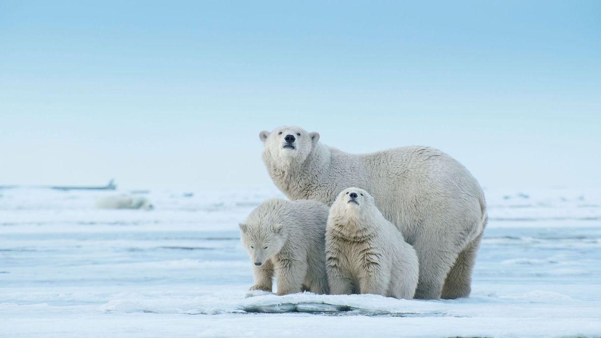 Une ourse blanche et ses petits inspectent une langue de terre qui s'avance dans la mer ...