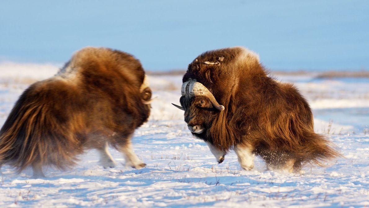 Le bœuf musqué à droite martèle le sol pour défendre son harem contre un rival. L'espèce ...