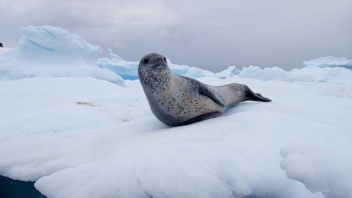 Ce phoque léopard joue et chasse en Antarctique