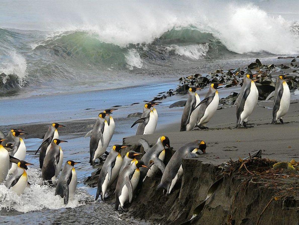 Ici, l'île de la Possession abrite une faune exceptionnelle. Elle fait partie de l'archipel Crozet dans ...