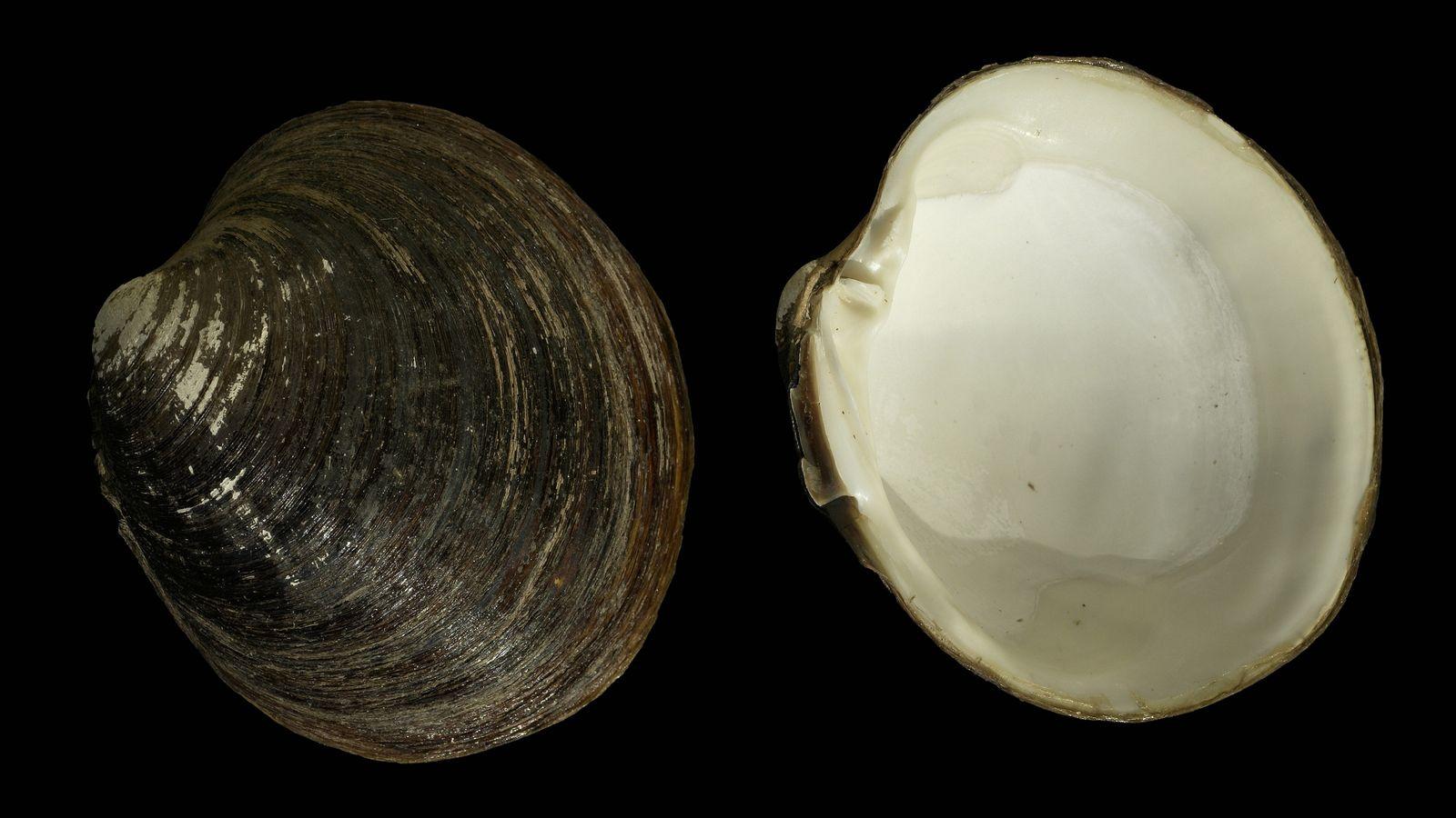 Une coquille d'Arctica islandica avec les valves séparées, récoltée en mer du Nord.