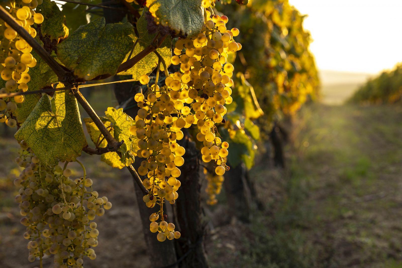 La région de Tokaj, au nord-est de la Hongrie, doit sa réputation au Furmint sec et ...