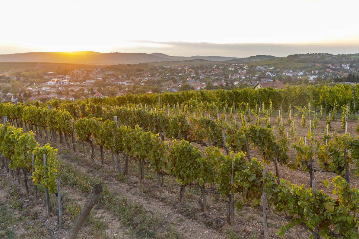 Le soleil se couche sur les vignobles de Tokaj. Les vins de cette région se distinguent ...