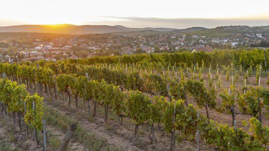 Le soleil se couche sur les vignobles de Tokaj. Les vins produits dans cette région ont ...