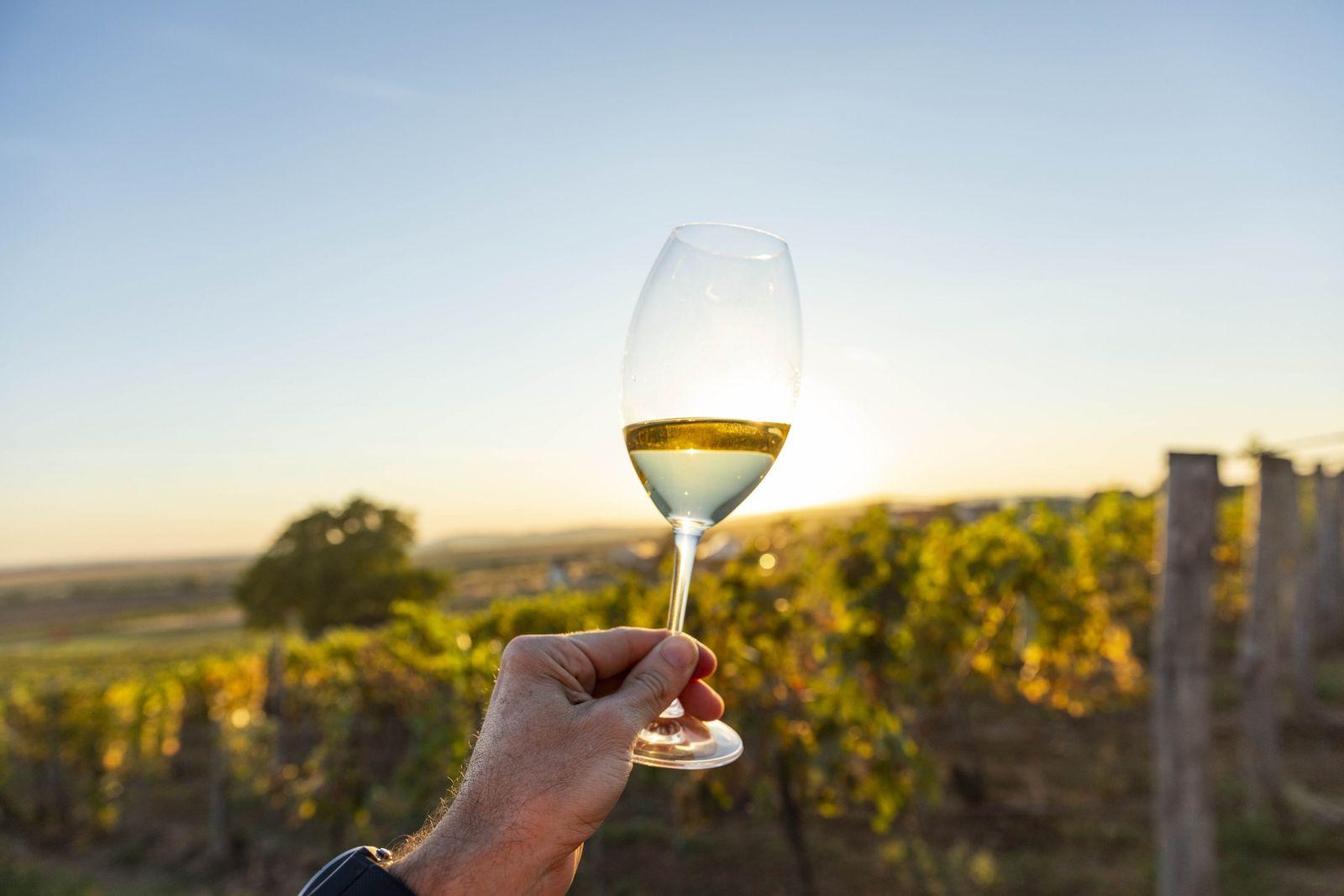 À Tokaj, un vigneron savoure un verre de vin au milieu des vignes. Ce sont les ...