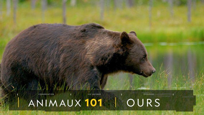 Comprendre : les ours