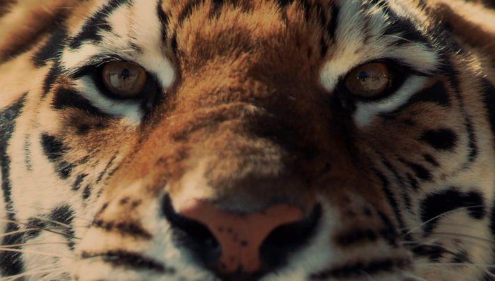 BIG CAT WEEK Teaser