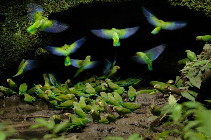 Les perruches aux ailes bleu cobalt sont l'une des 600 espèces d'oiseaux recensées par les scientifiques ...