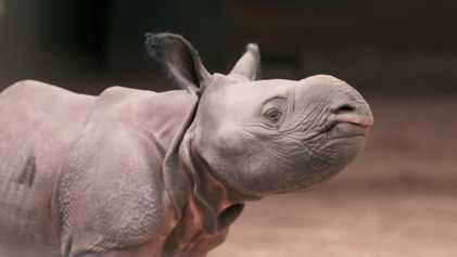 Les premiers pas rarissimes d'un bébé rhinocéros indien