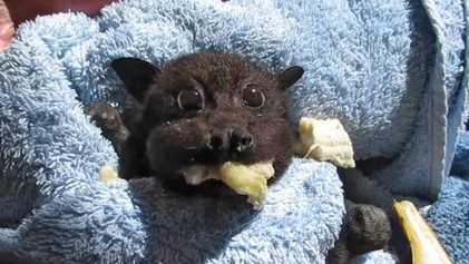 Un bébé chauve-souris remplit ses joues de bananes