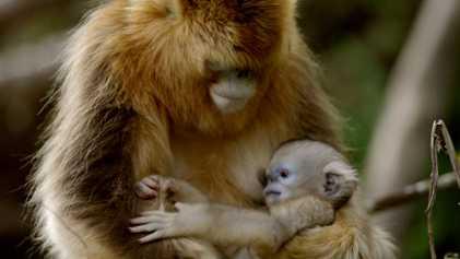 Ce petit singe est la nouvelle coqueluche de sa famille