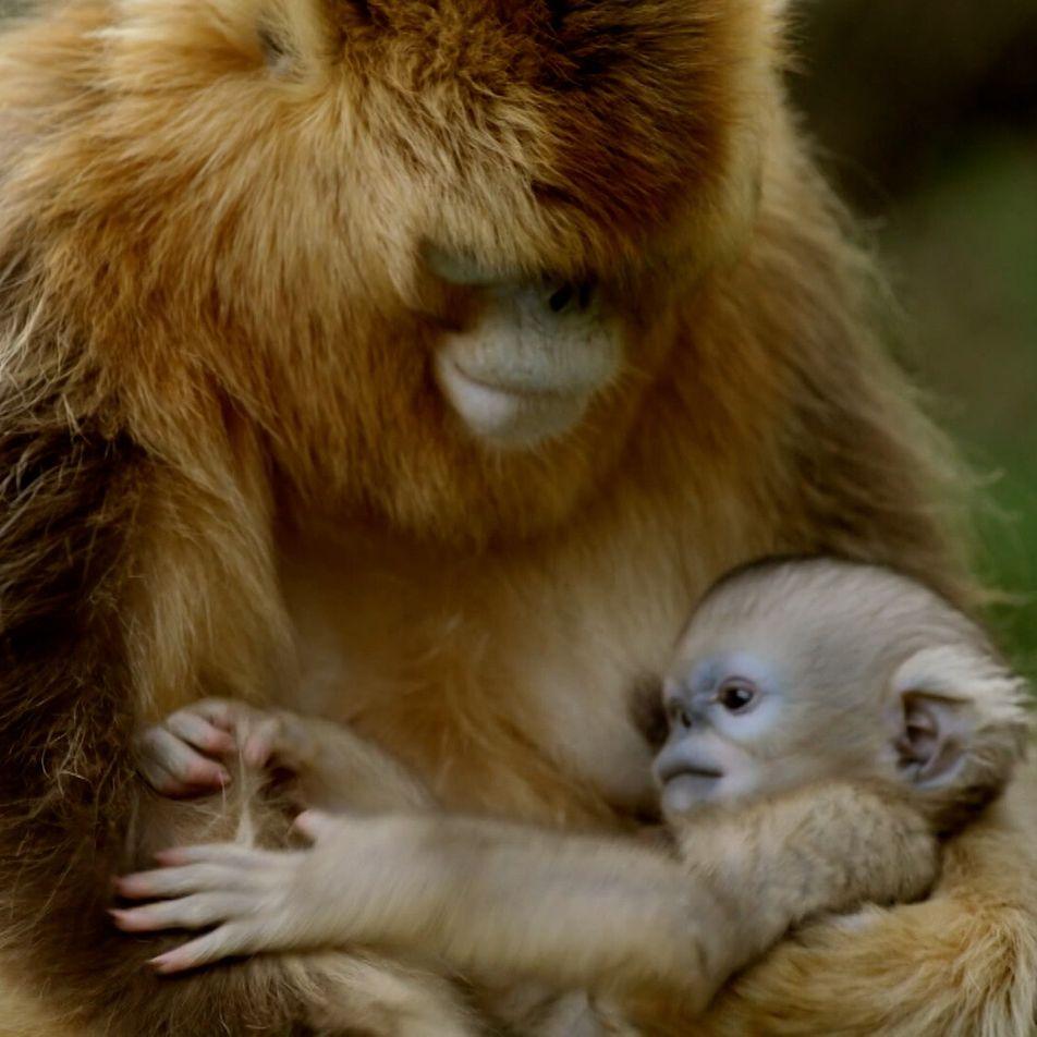 Cet adorable petit singe est la mascotte de toute sa famille