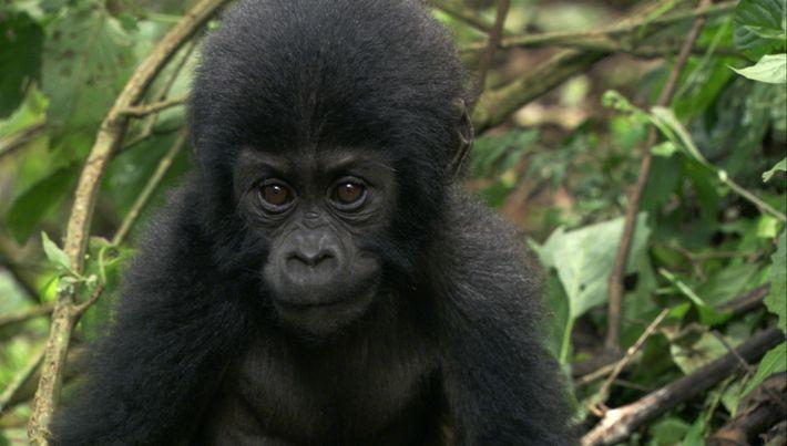Cette femme a élevé un bébé gorille dont la mère a été tuée par des braconniers