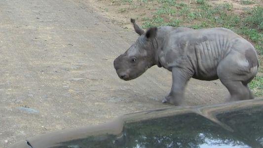 Un bébé rhinocéros s'en prend à une voiture
