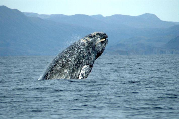 Des chercheurs estiment que la baleine grise (Eschrichtius robustus) se reproduisait en Méditerranée à l'époque romaine. ...
