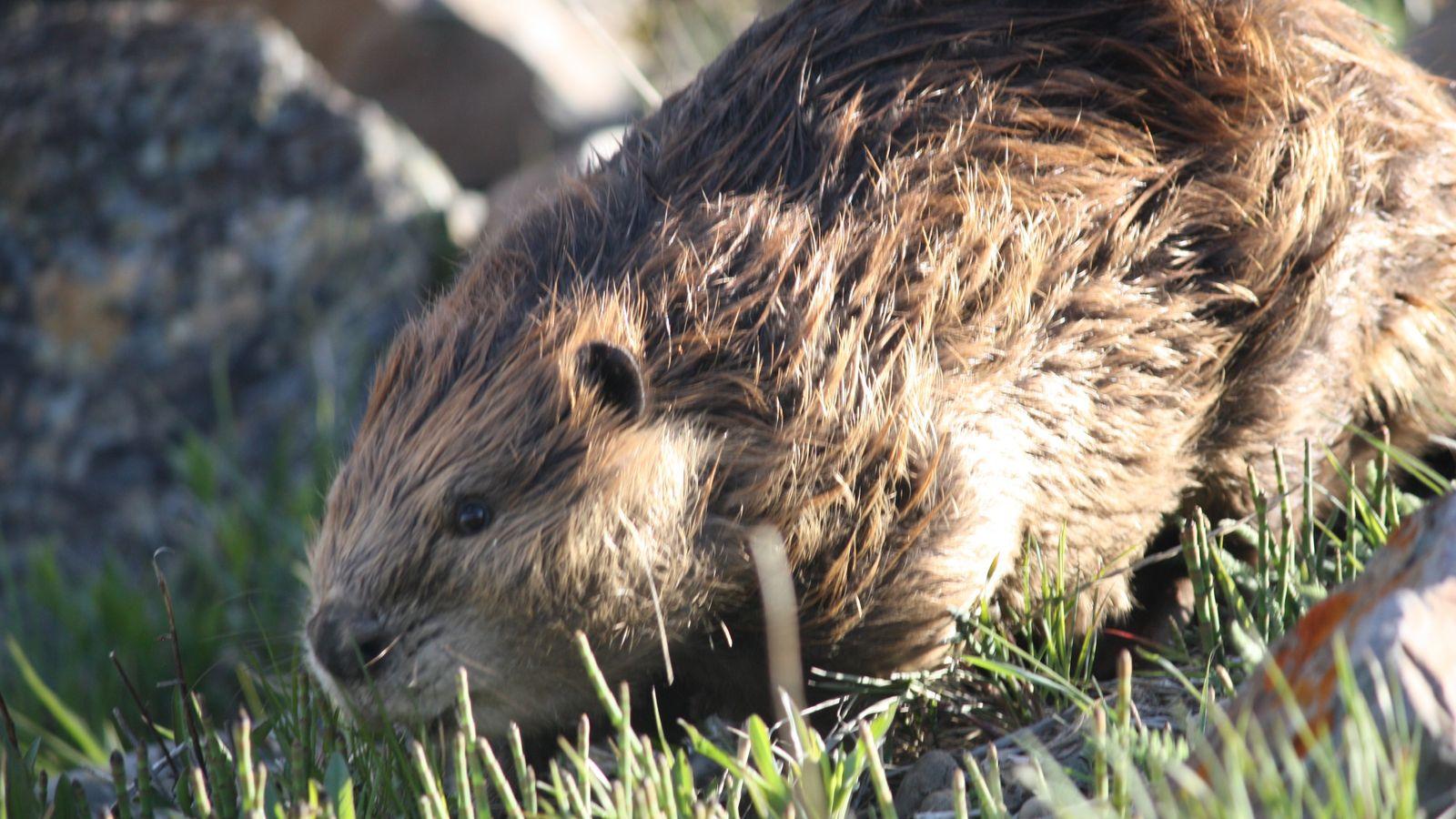 Il y aurait 100 000 castors canadiens en Terre de Feu. Un problème pour l'environnement de ...