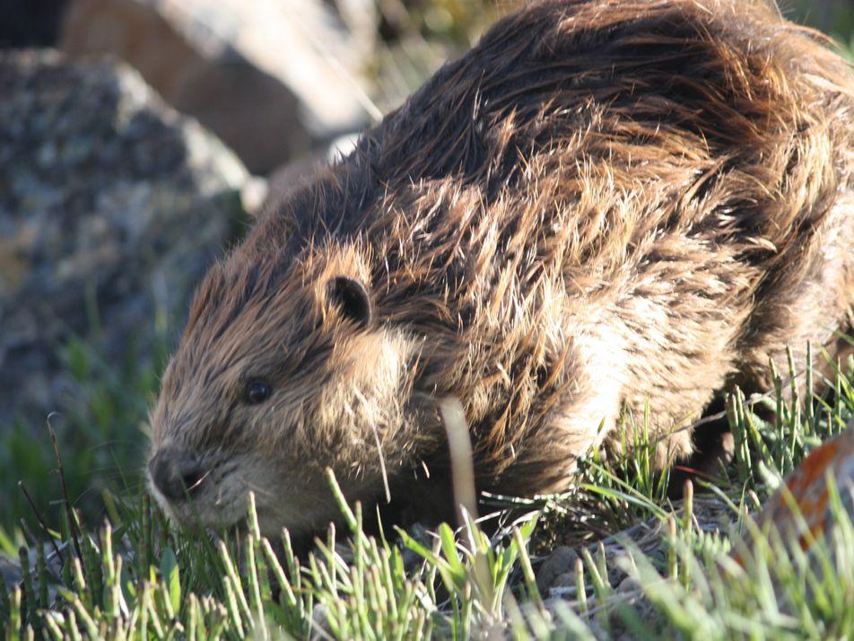 Terre de Feu : comment les castors sont devenus une espèce invasive