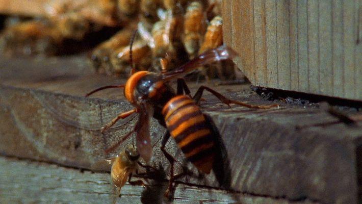 Des frelons asiatiques attaquent une ruche