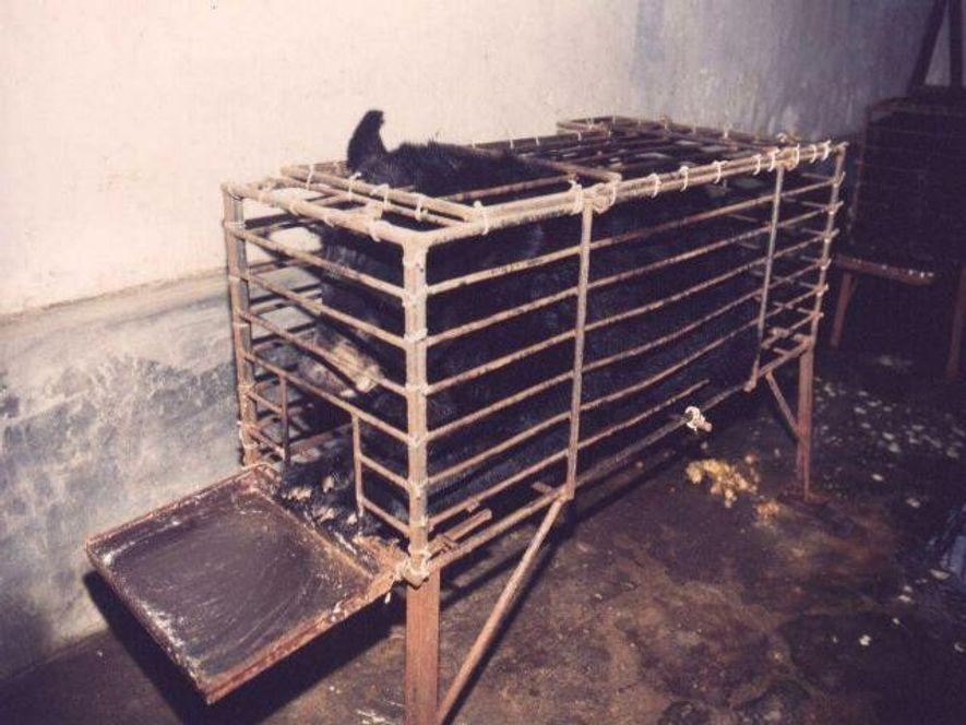 Un ours biliaire gardé en captivité afin que sa bile puisse être extraite. L'image a été prise par le réseau asiatique de protection des animaux de la ferme de Huizhou, au Vietnam. L'animal a depuis été retiré de là et vit en Chine.