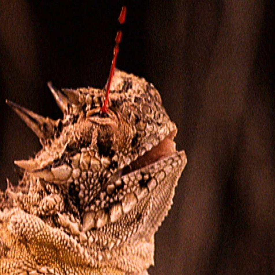 Le lézard à cornes a une façon bien étrange de repousser ses ennemis