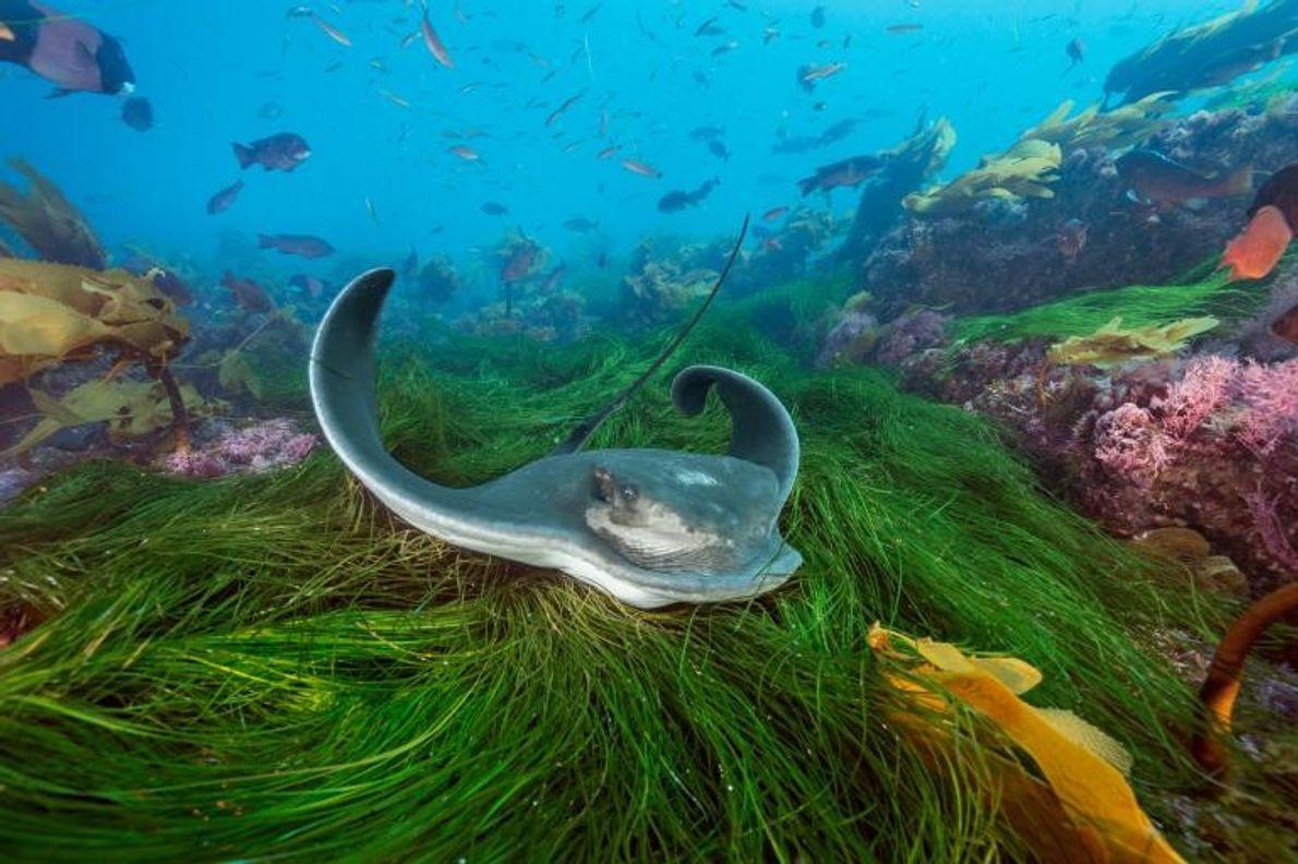 Un labre californien et d'autres poissons avancent avec précaution au milieu des algues à Cortes Bank. ...