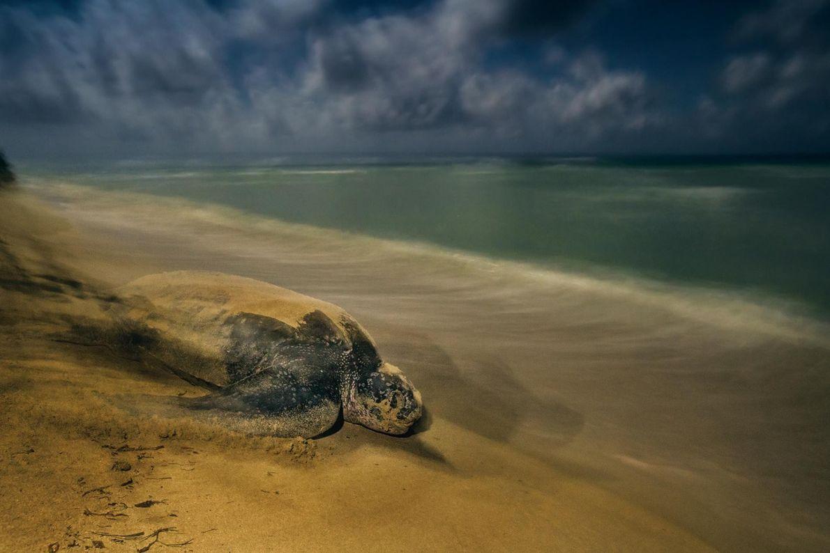 Une tortue luth quitte la plage où elle a pondu ses œufs au refuge faunique national ...