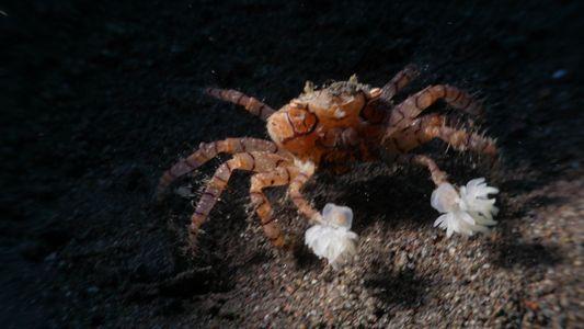 Le crabe boxeur, véritable pom-pom girl