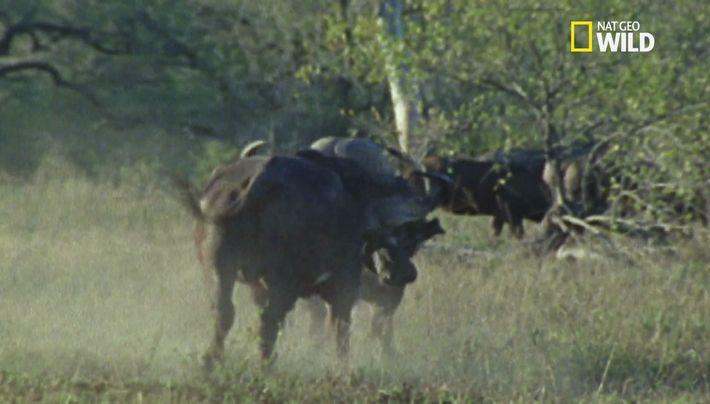 Buffle vs Rhino