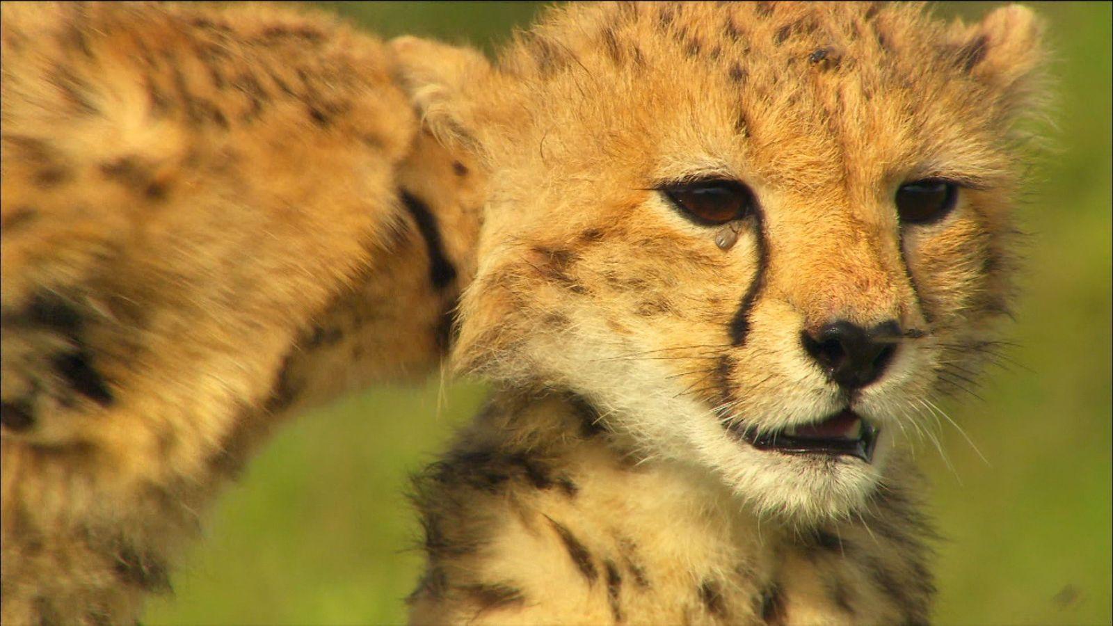 Journée internationale du guépard