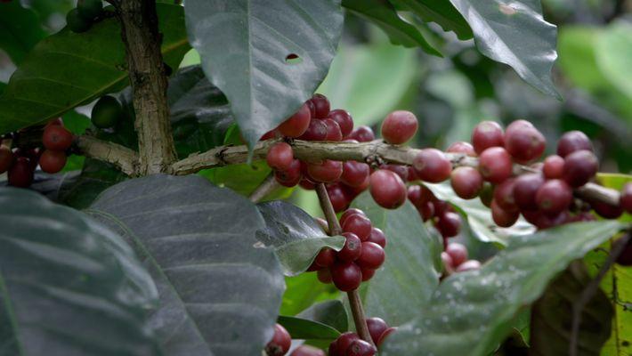 L'agroforesterie ou l'espoir d'un avenir meilleur pour le café guatémaltèque