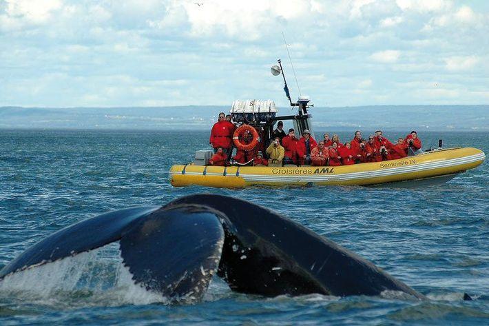 Observation des baleines du St-Laurent à bord d'une croisière AML.