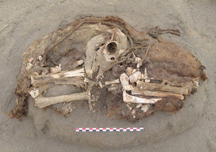 Un squelette de camélidé retrouvé sur le site de Huanchaquito-Las Llamas. L'Agence nationale de la recherche ...