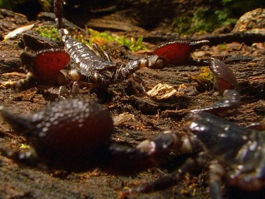 Des scorpions cannibales se battent à mort