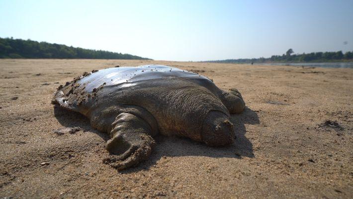 Une rare tortue géante à coquille molle