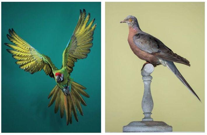 À gauche : L'ara militaire (Ara militaris) - L'UICN estime que l'ara militaire est une espèce ...