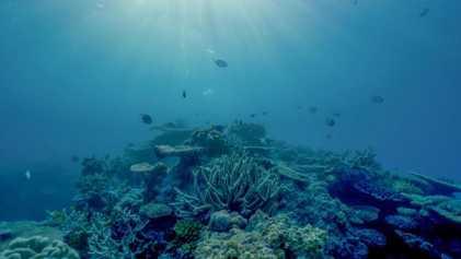 La Grande Barrière de corail aurait perdu la moitié de ses coraux en 25 ans