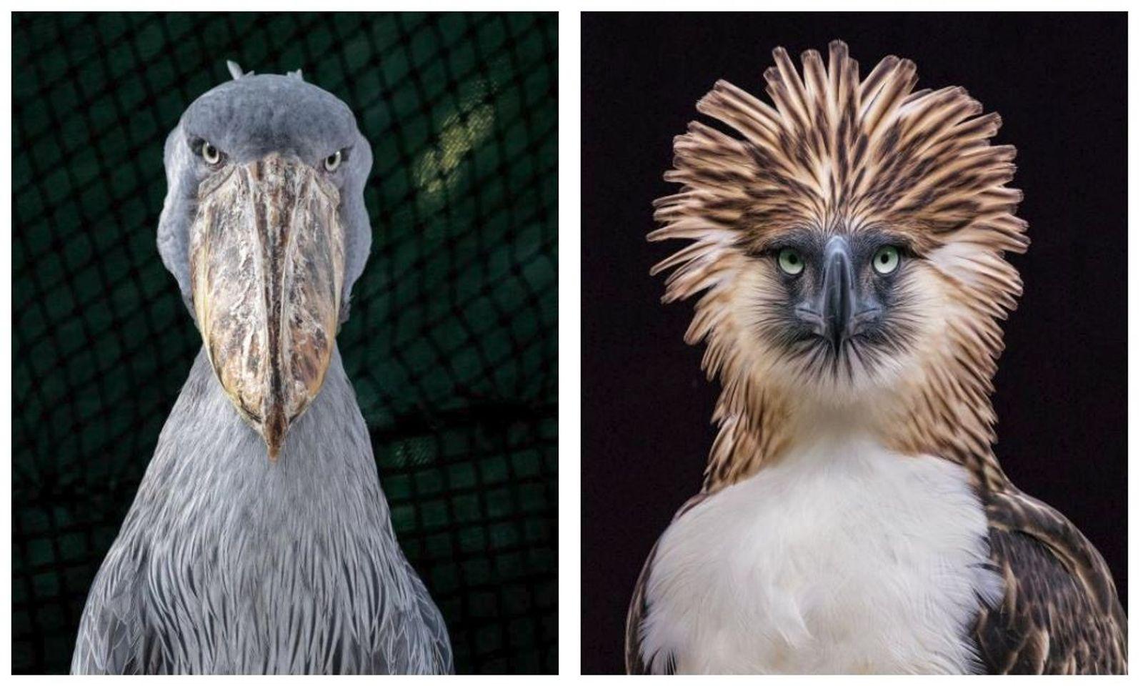 À gauche : Le bec-en-sabot (Balaeniceps rex) se trouve en Afrique de l'Est, du Sud-Soudan à ...