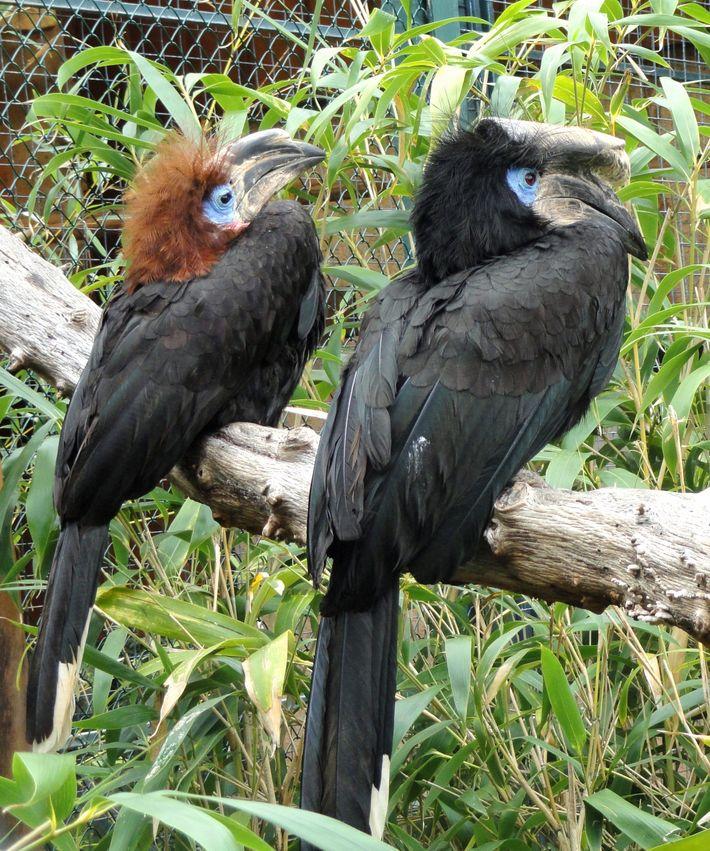 Deux calaos à casque noir, au jardin zoologique tropical de La Londe-les-Maures, dans le Var (France).